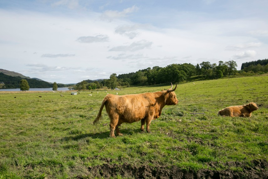 hairy-coos-in-highlands