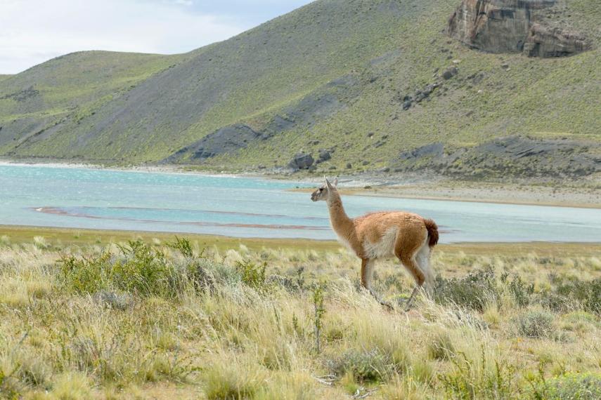 guanacos-lake